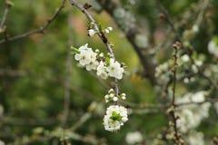 Vita blommor i Spanien arkivbilder