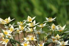 Vita blommor i tidig vår Arkivfoto