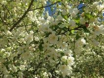 Vita blommor i trädfilialer Royaltyfri Bild