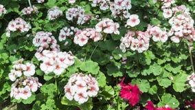 Vita blommor i trädgård Fotografering för Bildbyråer