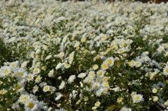 Vita blommor i trädgård Arkivbild
