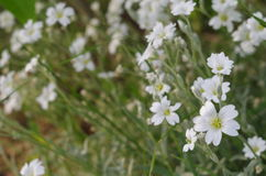 Vita blommor i trädgården Arkivfoto