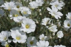 Vita blommor i trädgården Arkivfoton