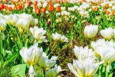 Vita blommor i vårträdgård Arkivbilder