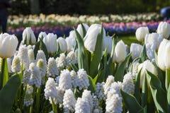 Vita blommor, Keukenhof, Nederländerna Arkivbild