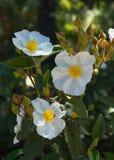 Vita blommor Laurel Rockrose Royaltyfria Foton