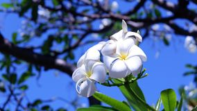 Vita blommor Leelawadee eller Frangipani Arkivfoto