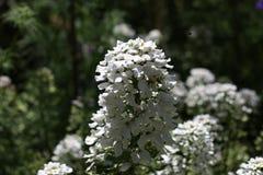 Vita blommor med biet royaltyfria foton