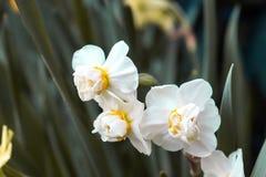 Vita blommor med den gr?na filialen fotografering för bildbyråer