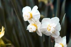 Vita blommor med den gr?na filialen royaltyfria foton