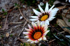 Vita blommor med den orange pistillen Fotografering för Bildbyråer