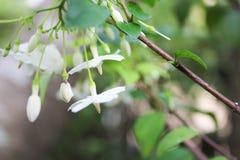 Vita blommor med grön naturbakgrund Royaltyfri Bild