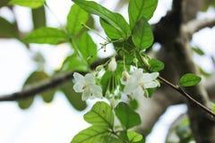 Vita blommor med grön naturbakgrund Arkivbild