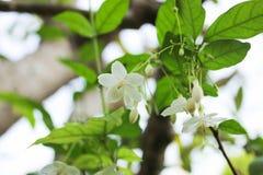 Vita blommor med grön naturbakgrund Royaltyfria Foton