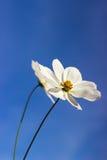Vita blommor med gulaktiga stamens Arkivbilder