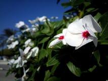 Vita blommor med röda prickar Royaltyfria Bilder