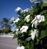 Vita blommor med röda prickar Royaltyfri Foto