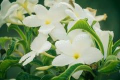 Vita blommor med sidor på växten Royaltyfri Foto