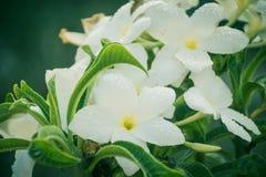 Vita blommor med sidor på växten Fotografering för Bildbyråer