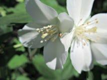 Vita blommor med spindeln Arkivfoton