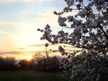 Vita blommor mot bakgrunden av den Maj solnedgången Arkivfoto