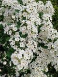 Vita blommor, närbild En Bush av vita blommor Arkivbilder