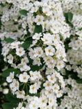 Vita blommor, närbild En Bush av vita blommor Royaltyfri Foto