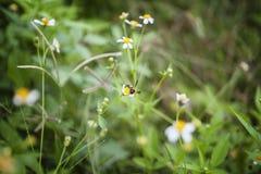 Vita blommor och bi Fotografering för Bildbyråer