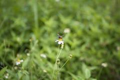 Vita blommor och bi Arkivfoton
