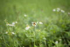 Vita blommor och bi Royaltyfri Bild