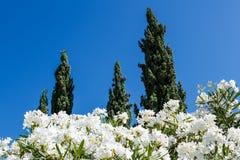 Vita blommor och Cypresses i bakgrund royaltyfri foto