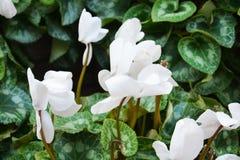 Vita blommor och gräsplan lämnar upp blommor, slut Royaltyfri Foto