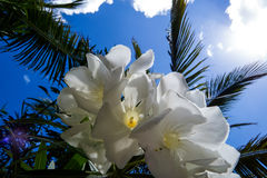 Vita blommor och himlen Royaltyfri Bild