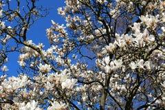 Vita blommor och m?rka filialer av magnoliatr?det arkivfoto