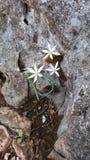 Vita blommor och svart rocl Arkivfoto