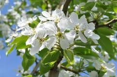 Vita blommor på äppleträd Arkivfoton