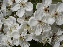 Vita blommor på äppleträdfilialer Arkivfoto
