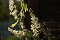 Vita blommor på den wood väggen Royaltyfria Bilder