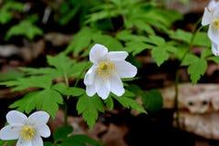 Vita blommor på en bakgrund av gröna sidor Arkivfoto