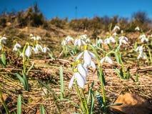 Vita blommor på en bergglänta royaltyfria foton