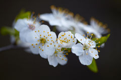 Vita blommor på en blomningträdfilial Royaltyfri Foto