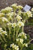 Vita blommor på en blomrabatt i botaniska trädgården close upp Royaltyfria Foton