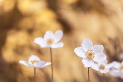 Vita blommor på en brun bakgrund Selektivt fokusera Royaltyfri Bild
