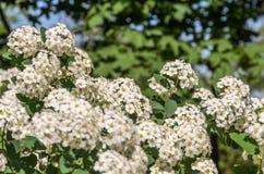 Vita blommor på en buske på en ljus solig sommardag Arkivfoton