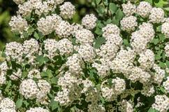 Vita blommor på en buske på en ljus solig sommardag Arkivfoto