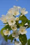 Vita blommor på en filial av ett fruktträd Royaltyfri Bild