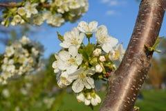 Vita blommor på en filial av ett fruktträd Fotografering för Bildbyråer