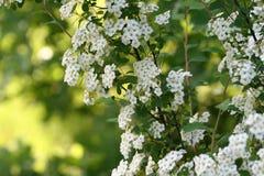 Vita blommor på en filialhagtornbuske Arkivfoto