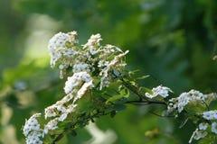Vita blommor på en filialhagtornbuske Royaltyfri Bild