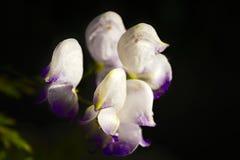 Vita blommor på en mörk oskarp bakgrund Arkivfoton
